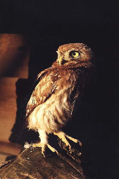 Фотографии домового сыча (Athene noctua)
