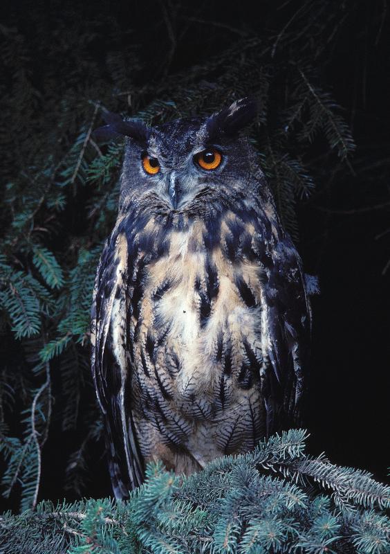 http://winter-birds.narod.ru/foto/bubo_bubo_13.jpg