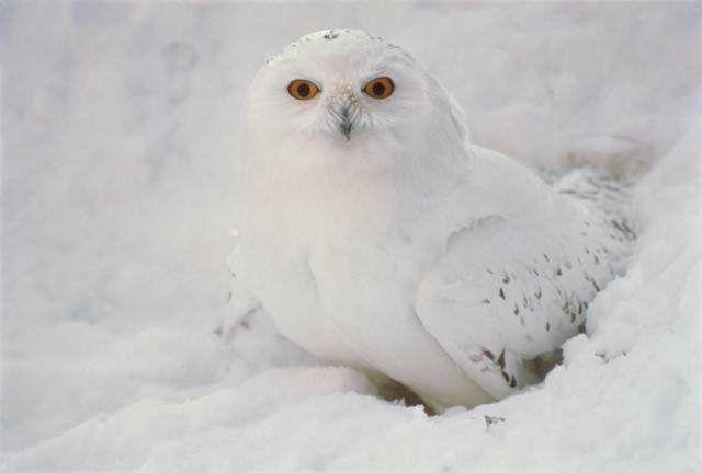 http://winter-birds.narod.ru/foto/nyctea_scandiaca9.jpg